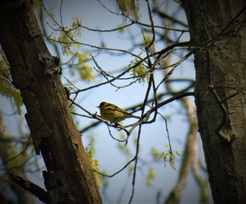 Small yellow warbler with spots and a white rump perched on a small branch between two trees.